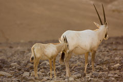 Oryx  antelopes Royalty Free Stock Image