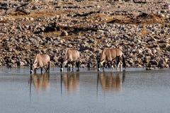 Oryx antelopes drinking at a waterhole in Etosha Park in Namibia stock photography
