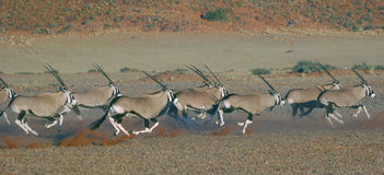 Oryx Antelopes on the Run Royalty Free Stock Photography
