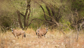 Oryx antelopes at Tsavo national park Royalty Free Stock Photography