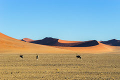 Oryx antelopes walking in red Sossusvlei dunes in Namibia. stock image
