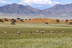 Oryx antelopes in Wolwedans, Namibia. Oryx antelopes in the landscape of Wolwedans, Namibia stock image