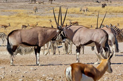 Oryx antilopes fighting Stock Images