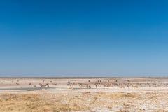 Oryx, antylopa, struś i Burchells zebry przy waterhole, Fotografia Royalty Free