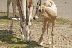 Oryx Arabe Photographie stock