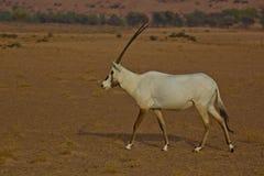 Oryx Arabe Images libres de droits