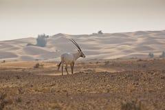 Oryx Arabe Photographie stock libre de droits