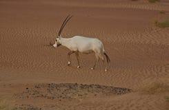 Oryx Arabe Photo libre de droits