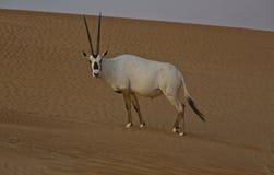 Oryx Arabe Image libre de droits