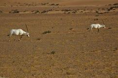 Oryx Arabes Image libre de droits