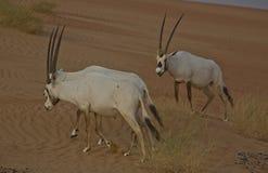 Oryx Arabes Photos stock
