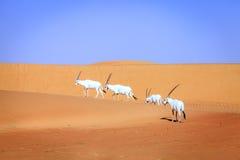Oryx arabo Fotografia Stock