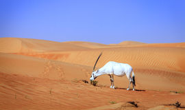 Oryx arabo Immagini Stock Libere da Diritti