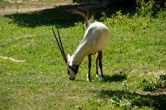 oryx arabskiego Fotografia Stock