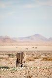 Oryx łasowania pustyni melon Obraz Stock