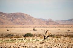 Oryx łasowania pustyni melony Fotografia Royalty Free