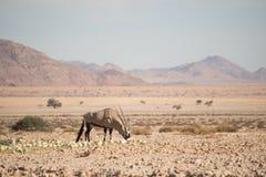 Oryx łasowania pustyni melony w pustynia krajobrazie Zdjęcie Stock
