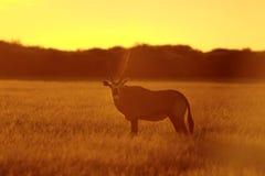 Oryx au crépuscule Images libres de droits