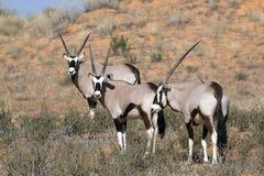 Oryx auf einer roten Düne Stockbild