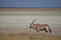Oryx auf einer Salzpfanne lizenzfreies stockbild