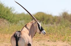 African Wildlife - Oryx Observation Post Royalty Free Stock Photos