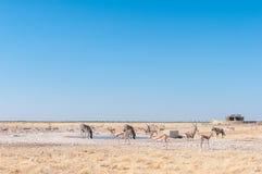 Oryx, Burchells zebry i antylopy przy waterhole, Obraz Stock