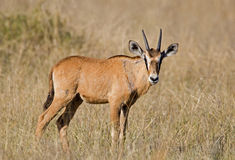 Oryx calf standing in grassfield Stock Images