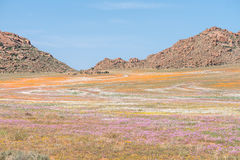 Oryx in carpet of flowers in Goegap Nature Reserve Royalty Free Stock Image