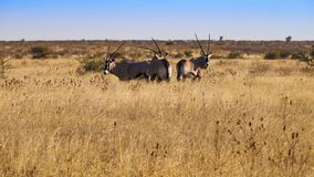 Oryx. In the Central Kalahari Game Reserve, Botswana Royalty Free Stock Photography