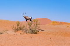 Oryx in the colorful Namib desert of the majestic Namib Naukluft National Park, best travel destination in Namibia, Africa. Royalty Free Stock Photo