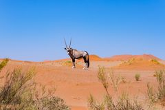 Oryx in the colorful Namib desert of the majestic Namib Naukluft National Park, best travel destination in Namibia, Africa. Royalty Free Stock Images