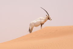 An Oryx in a conservation area in the Dubai desert - UAE Stock Image