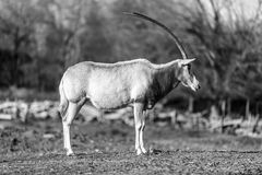 Oryx dammah black white royalty free stock images