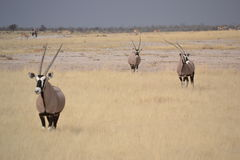 Oryx dans Etosha, Namibie Photos stock