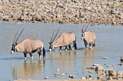 Oryx dans l'eau photographie stock libre de droits
