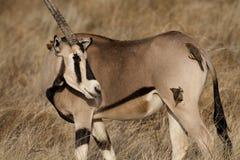 Oryx de Beisa avec des oxpeckers Photo stock
