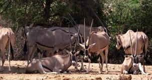 Oryx de Beisa, beisa del oryx, grupo de adultos, parque de Samburu en Kenia, metrajes