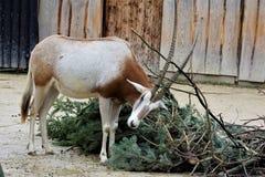 Oryx de cimeterre essayant de se libérer de la branche photographie stock libre de droits