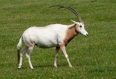 Oryx de cuernos del Scimitar con los claxones magníficos fotos de archivo libres de regalías