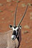 Oryx de Gemsbok devant les dunes rouges de désert Photographie stock libre de droits