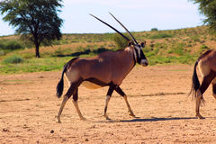 Oryx de Kalahari Image stock