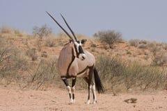 Oryx de Kalahari (Gazella del Oryx) Imagen de archivo libre de regalías