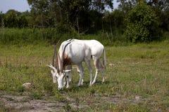 Oryx de la cimitarra Foto de archivo