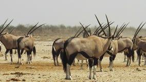 Oryx de Namibia almacen de video