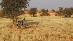 Oryx de Namibia almacen de metraje de vídeo