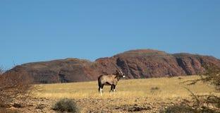 Oryx in de woestijn Royalty-vrije Stock Afbeeldingen
