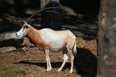 Oryx , deer , African animal. Oryx , deer , African zoo animal Stock Photo