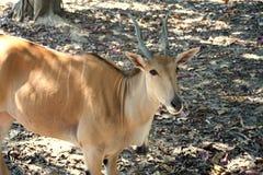 Oryx , deer , African. Male deer , African animal , zoo Royalty Free Stock Photo