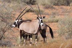 Oryx del Gemsbok Fotografie Stock