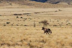 Oryx del Gemsbok o del gemsbuck que camina en campo Imagen de archivo libre de regalías
